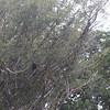 black caracara