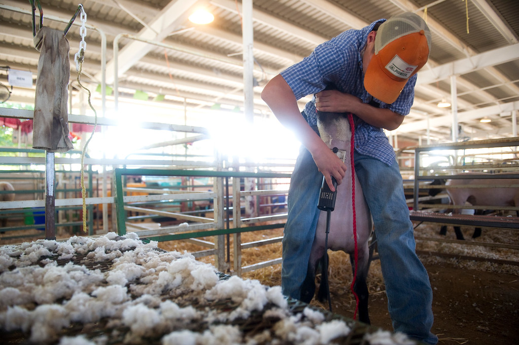 . David Ginther, 14, shaves one of his sheep on Wednesday, July 31 at the Adams County Fair  in Brighton, CO. Ginther says sheep are very \'persnickety\' when it comes to being shaved. (Photo By Grant Hindsley/The Denver Post)