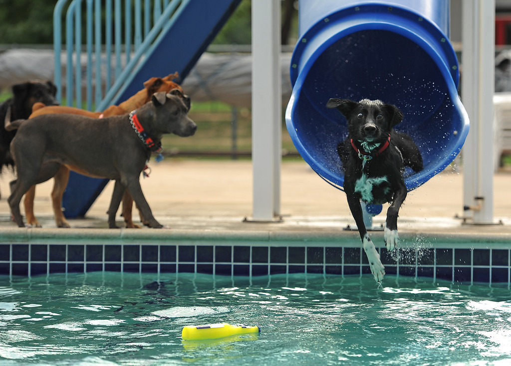 . Juno, a 2 year old lab mix, couldn\'t get enough of the pool and the pool toys as Jeanette Smith, his owner, tosses a toy from the top of a slide and Juno goes flying down after it in the pool at the Kiwanis Pool in Northglenn, CO on September 2, 2013.  Lucky dogs were invited to swim at the Kiwanis Pool before it gets drained for the summer.  In addition to swimming, dogs enjoyed games, contests, treats and running around off leash with other dogs.  The price of entry was $5 which benefits the pool.  This is the first year Northglenn has offered the pool to the dogs.  Photo by Helen H. Richardson/The Denver Post
