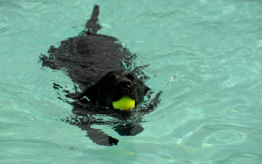 . Black labrador retriever Kaz goes after a ball  in the pool at the Kiwanis Pool in Northglenn, CO on September 2, 2013.  Lucky dogs were invited to swim at Kiwanis Pool in Northglenn, CO on Monday September 2, 2013 before the pool is drained for the summer.  In addition to swimming, dogs enjoyed games, contests, treats and running around off leash with other dogs.  The price of entry was $5 which benefits the pool.  This is the first year Northglenn has offered the pool to the dogs.  Photo by Helen H. Richardson/The Denver Post