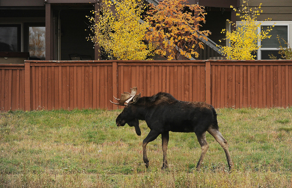 . A young bull moose passes large homes along Newlin Gulch Trail in the Stonegate subdivision in in Parker, Colorado, on Monday, October 28, 2013.    (Photo By Helen H. Richardson/ The Denver Post)