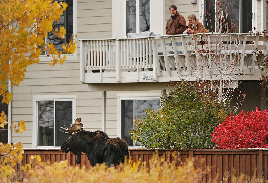 . Parker, Colorado, residents Heidi and Martin Farrell take photos of an unexpected visitor: a young bull moose as he munches on aspen leaves as he passes large homes along Newlin Gulch Trail in the Stonegate subdivision on Monday, October 28, 2013. Wildlife officials and Douglas County Sheriff\'s are keeping a close eye on the moose, which has been seen in the area over the past two weeks. They are also keeping a close watch as more and more people come out to take a look at the unusual visitor to the suburban neighborhood. Wildlife officers hope the moose will find its way out of the densely populated neighborhood for it\'s own safety as well as the safety of residents.    (Photo By Helen H. Richardson/ The Denver Post)