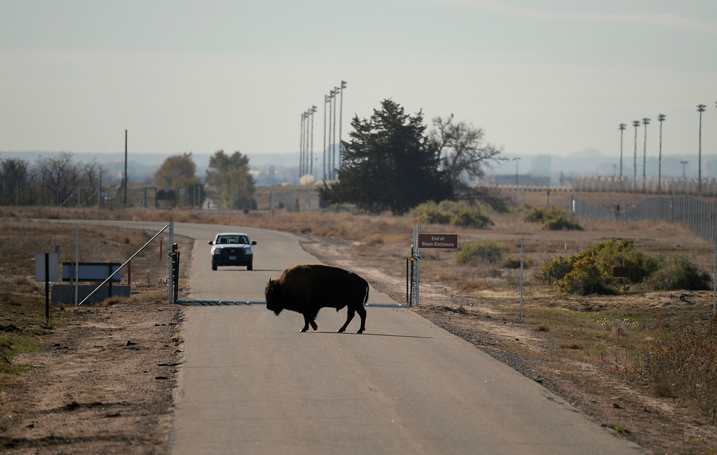 . COMMERCE CITY, CO - NOVEMBER 07: A visitor of at Rocky Mountain Arsenal National Refuge stops to let a bison cross the road, November 07, 2013. The bison breeding program at Rocky Mountain Arsenal National Refuge is getting too big and they plan to rounding up 25 percent of them in December.  (Photo By RJ Sangosti/The Denver Post)