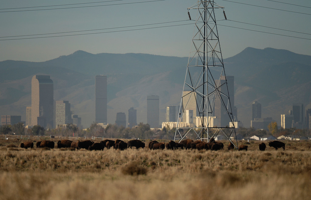 . COMMERCE CITY, CO - NOVEMBER 07: Bison graze at Rocky Mountain Arsenal National Refuge, November 07, 2013. The bison breeding program at Rocky Mountain Arsenal National Refuge is getting too big and they plan to rounding up 25 percent of them in December.  (Photo By RJ Sangosti/The Denver Post)