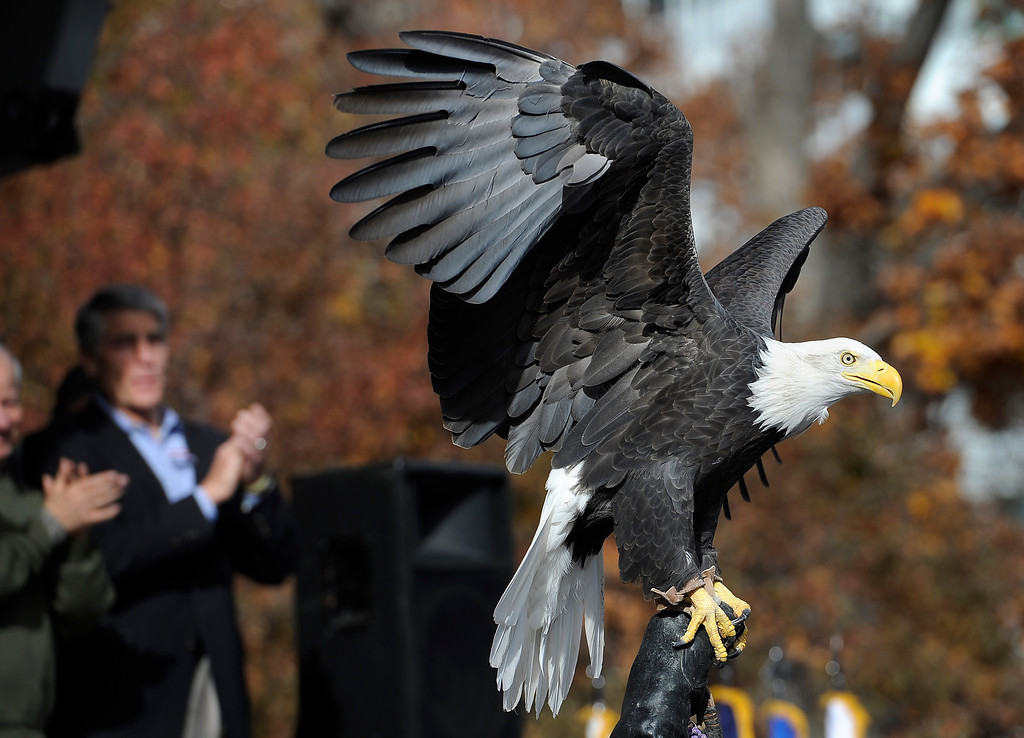 . DENVER, CO - NOV. 9: A bald eagle from the Hawk Quest organization was part of the festivities in front of the bandstand on Broadway during the parade. The largest annual Denver Veteran\'s Day Celebration takes place starting with a 5k run and continuing with a parade and remembrance ceremony downtown next to Civic Center Park, and finishing on the Auraria campus with activities and fireworks. (Photo By Kathryn Scott Osler/The Denver Post)