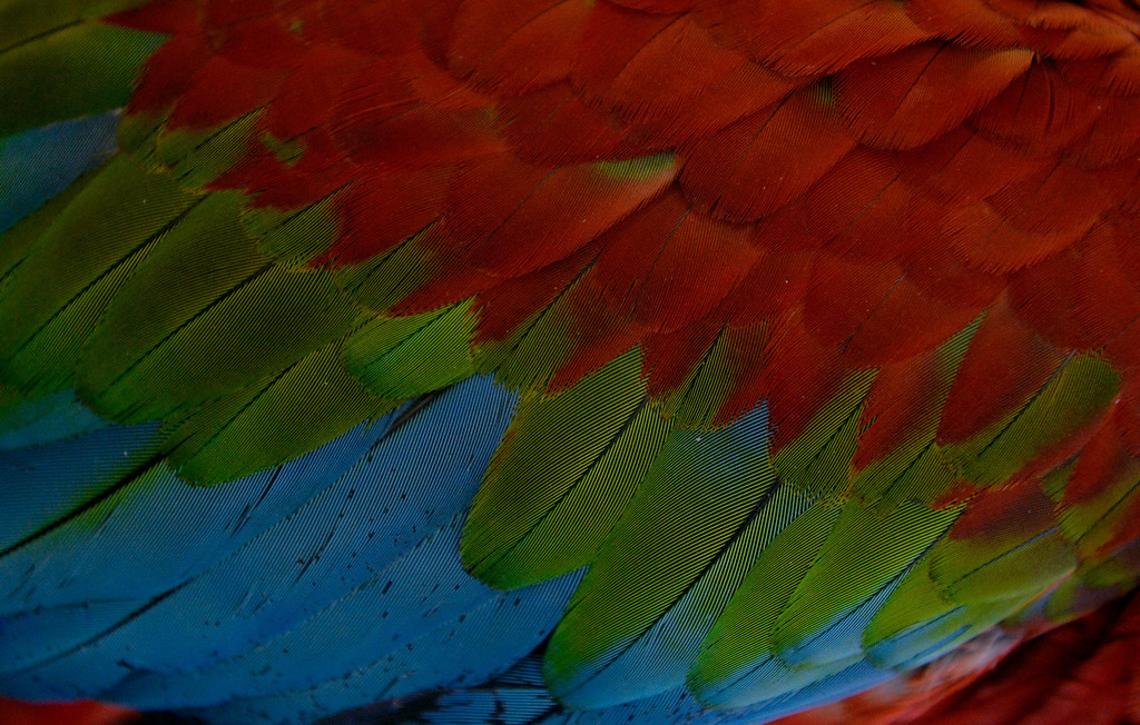 . DENVER, CO. - NOVEMBER 16:  Rafiki, a Green-winged Macaw, is displayed by Avalon Aviary during the Rocky Mountain Bird expo at the National Western Complex in Denver, CO November 16, 2013.(Photo By Craig F. Walker / The Denver Post)