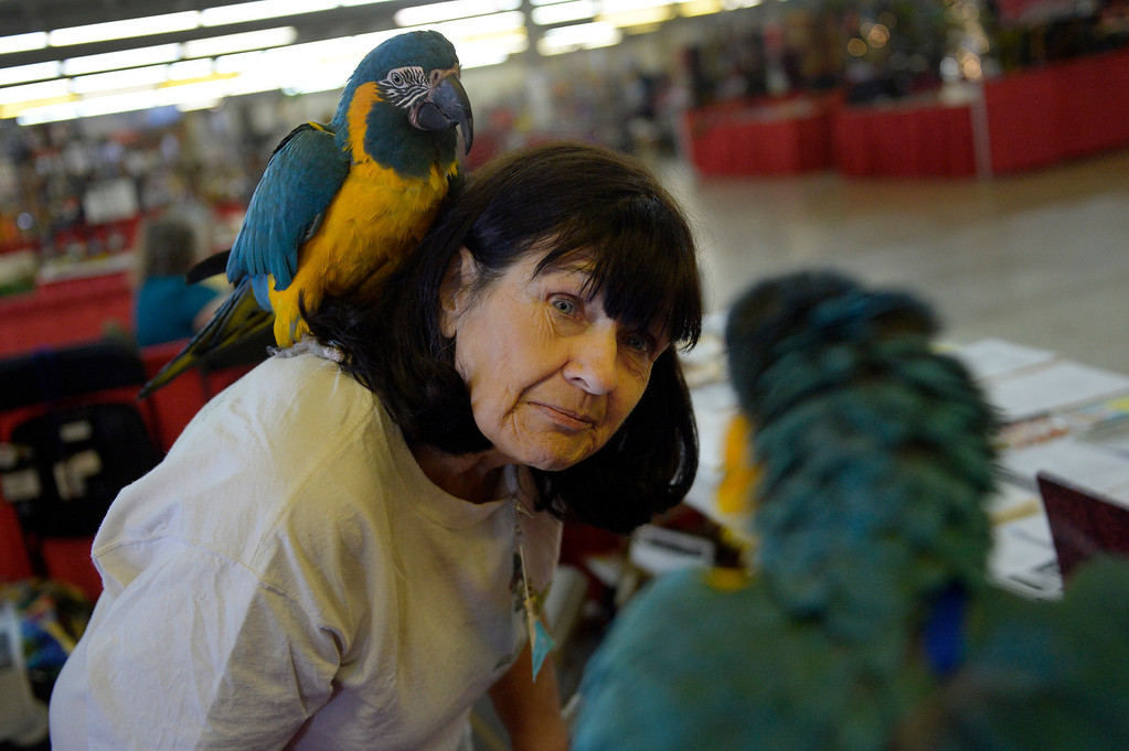 """. DENVER, CO. - NOVEMBER 16: Gabriele Alexander introduces her Blue-throated Macaw, BeBe, to another during the Rocky Mountain Bird expo at the National Western Complex in Denver, CO November 16, 2013. Gabriele said the birds are endangered and, \""""we\'re hoping we might trigger some sparks, maybe a little romance.\"""" (Photo By Craig F. Walker / The Denver Post)"""