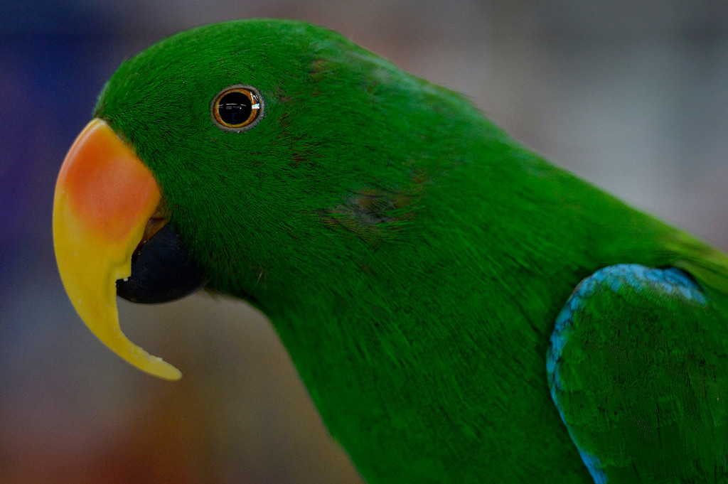 . DENVER, CO. - NOVEMBER 16:  Roy, an Eclectus Parrot, is displayed by Larry Anderson during the Rocky Mountain Bird expo at the National Western Complex in Denver, CO November 16, 2013.(Photo By Craig F. Walker / The Denver Post)