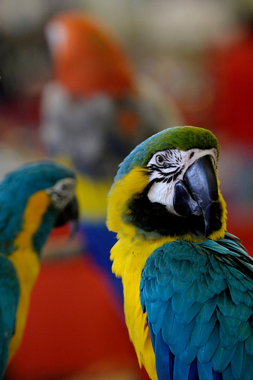 . DENVER, CO. - NOVEMBER 16:  A Blue and Gold Macaw is displayed by Gabriele Alexander during the Rocky Mountain Bird expo at the National Western Complex in Denver, CO November 16, 2013.(Photo By Craig F. Walker / The Denver Post)