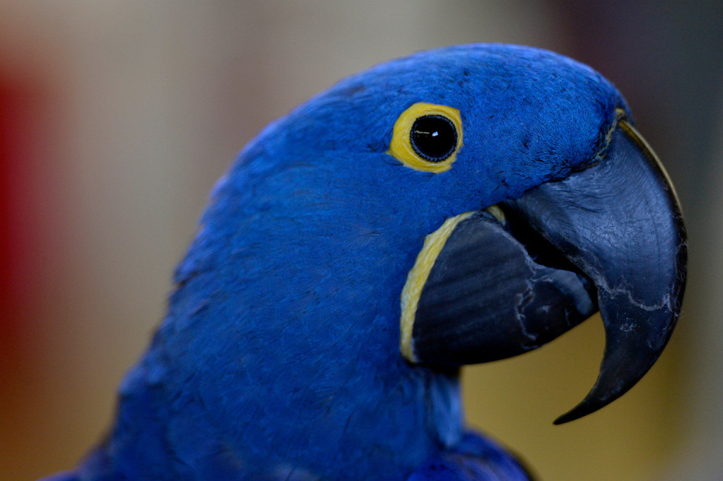 . DENVER, CO. - NOVEMBER 16: Cesar, a Hyacinth Macaw, is displayed by Felicia Nickols during the Rocky Mountain Bird expo at the National Western Complex in Denver, CO November 16, 2013.(Photo By Craig F. Walker / The Denver Post)