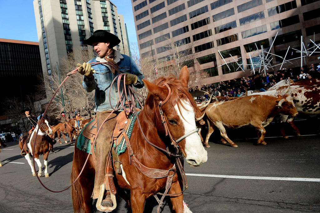 . DENVER, CO - JANUARY 9, 2014:  A wranger helps keep the Texas longhorns in line during the  National Western Stock Show Parade as the group of about 30 make their way 17th street  in Denver, Co on January 9, 2014.  The National Western Stock Show Kick-Off Parade featured Longhorn cattle herded through the streets of downtown Denver, along with bands, horses, floats, cowboys and rodeo queens. The parade started at noon at Union Station in Lower downtown Denver and headed up 17th street.   The annual National Western Stock Show runs Jan. 11-26. Schedules and ticket information is available at NationalWestern.com.  (Photo By Helen H. Richardson/ The Denver Post)