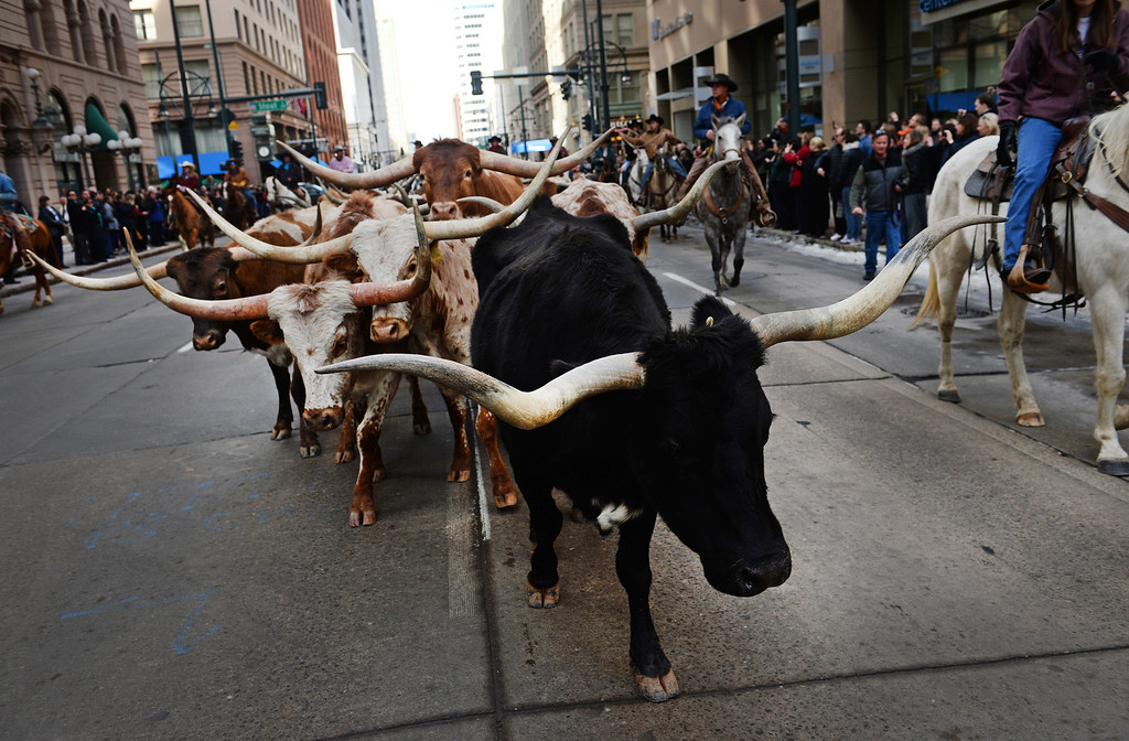 . DENVER, CO - JANUARY 9, 2014:  Texas longhorns, belonging to Stan Searle, which are the main attraction during the  National Western Stock Show Parade, make their way 17th street  in Denver, Co on January 9, 2014.  The National Western Stock Show Kick-Off Parade featured Longhorn cattle herded through the streets of downtown Denver, along with bands, horses, floats, cowboys and rodeo queens. The parade started at noon at Union Station in Lower downtown Denver and headed up 17th street.   The annual National Western Stock Show runs Jan. 11-26. Schedules and ticket information is available at NationalWestern.com.  (Photo By Helen H. Richardson/ The Denver Post)