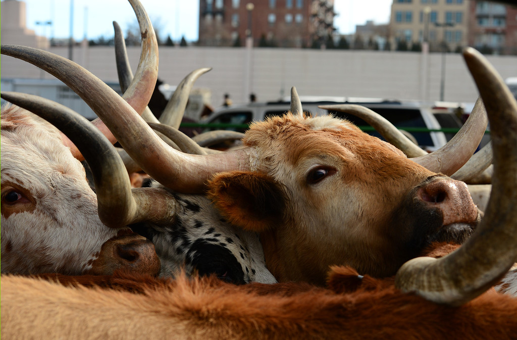 . DENVER, CO - JANUARY 9, 2014:  The Texas longhorns, belonging to Stan Searle, which are the main attraction during the  National Western Stock Show Parade, are corralled near Coors Field before the start of the parade  in Denver, Co on January 9, 2014.  The National Western Stock Show Kick-Off Parade featured Longhorn cattle herded through the streets of downtown Denver, along with bands, horses, floats, cowboys and rodeo queens. The parade started at noon at Union Station in Lower downtown Denver and headed up 17th street.   The annual National Western Stock Show runs Jan. 11-26. Schedules and ticket information is available at NationalWestern.com.  (Photo By Helen H. Richardson/ The Denver Post)