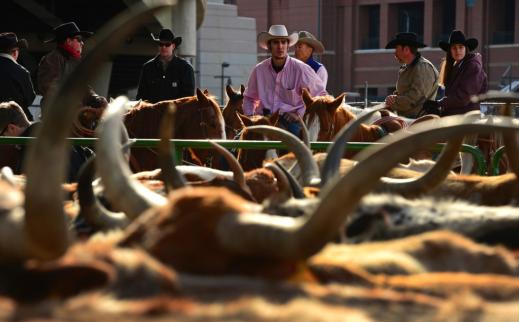 . DENVER, CO - JANUARY 9, 2014:  Levi Nily, of Sterling, Co in pink shirt, looks over about 30 head of Texas longhorn cattle, one of the main attraction during the  National Western Stock Show Parade,  corralled near Coors Field before the start of the parade  in Denver, Co on January 9, 2014.  The National Western Stock Show Kick-Off Parade featured Longhorn cattle herded through the streets of downtown Denver, along with bands, horses, floats, cowboys and rodeo queens. The parade started at noon at Union Station in Lower downtown Denver and headed up 17th street.   The annual National Western Stock Show runs Jan. 11-26. Schedules and ticket information is available at NationalWestern.com.  (Photo By Helen H. Richardson/ The Denver Post)