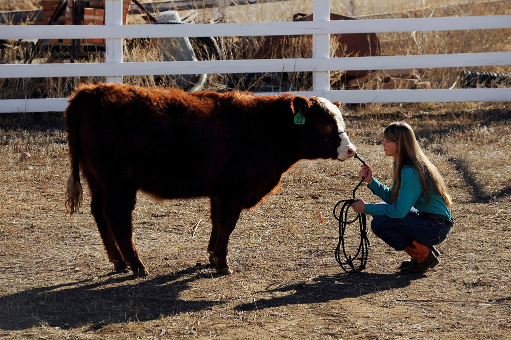 . WESTMINSTER, CO - JANUARY 20: Peyton Huss, 15, sits with Felix, an 11-month-old Hereford-Angus Cross calf, on January 20, 2014, in Westminster, Colorado. Huss will spend the next several months raising and training Felix until she shows him at the Jefferson County Fair in August. She took third in showmanship at the National Western Stock Show on January 12, for showing Marvin, a Hereford-Angus Cross bull. The Stock Show will continue through January 26. (Photo by Anya Semenoff/The Denver Post)