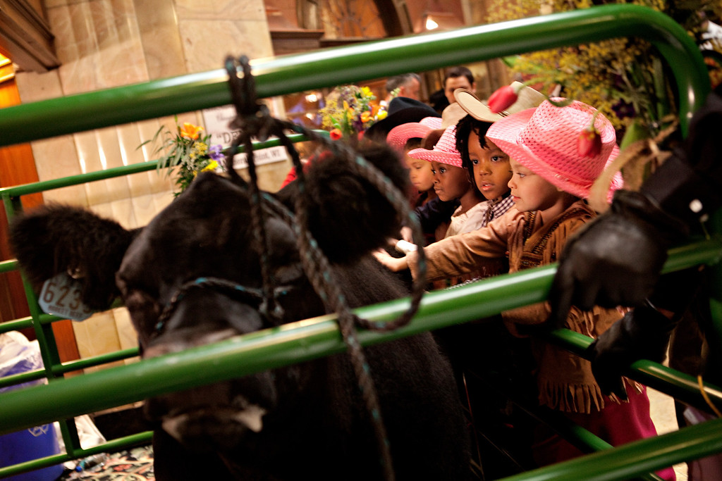 ". DENVER, CO. - January 24: Young students from Denver\'s HOPE Center Dasia Cox, far right, Nyeem Butler, center, Naylani Sykes and Lanaya Snider, far left, pet ""Denver\"" the reserve grand champion of the National Western Junior Livestock Show in the hotel lobby of the Brown Palace in Denver, Colorado on Friday, Jan. 24, 2014. The grand champion Slugger, not pictured, and the reserve grand champion Denver were on display Friday for crowds to pet and get their photos taken with.  (Photo By Katie Wood/The Denver Post)"