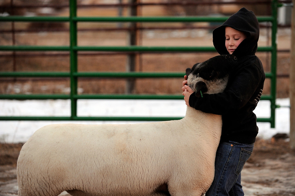 . BENNETT, CO - JANUARY 16: David Vetter, 9, works with Arron the sheep, at his family\'s farm on January 16, 2014, in Bennett, Colorado. Vetter participated in his first National Western Stock Show this year, showing four sheep. The Stock Show continues through January 26. (Photo by Anya Semenoff/The Denver Post)