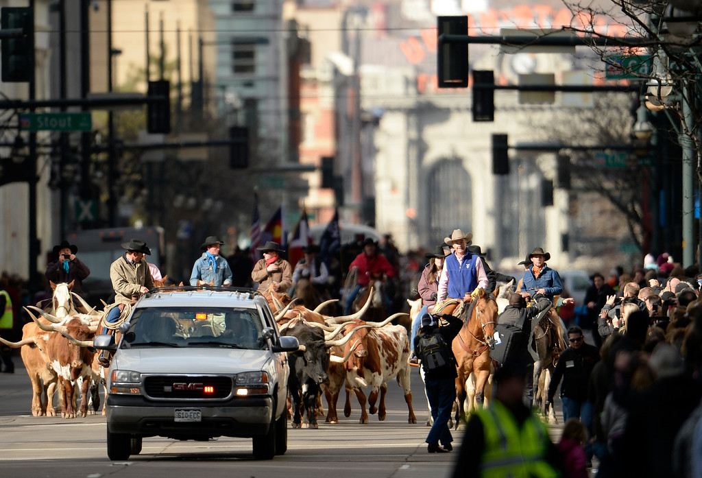. DENVER, CO - JANUARY 09: The annual National Western Stock Show Kick-off Parade makes its way down 17th Street in downtown Denver, January, 09 2014. Cowboys and cowgirls on horseback lead Texas Longhorn cattle along the parade. (Photo by RJ Sangosti/The Denver Post)