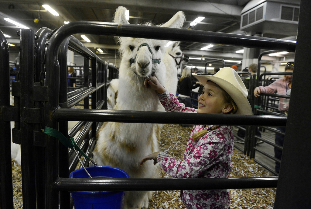 . DENVER, CO. - JANUARY 11: Cheyenne Dyess, 8, pets her aunt\'s Llama �Corizon� in it\'s pen on opening day of the National Western Stock Show Saturday, January 10, 2014. (Photo By Andy Cross / The Denver Post)