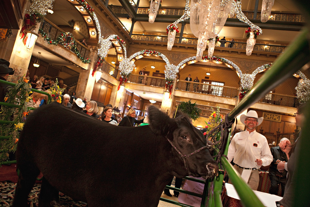 . DENVER, CO. - January 24: Slugger, the grand champion  of the National Western Junior Livestock Show stands in his pen as organizers prepare for people to get their picture taken with him in the hotel lobby of the Brown Palace in Denver, Colorado on Friday, Jan. 24, 2014. Slugger and the reserve grand champion Denver were on display for crowds to pet and get their photos taken with on Friday.  (Photo By Katie Wood/The Denver Post)