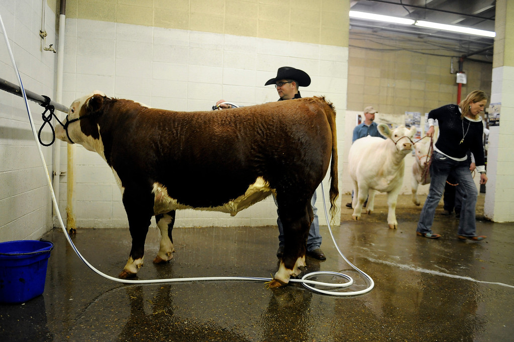 """. Jed Watje, center, baths \""""Red River\"""" on Jan. 19 in preparation to show the bull during the National Western Stock Show at the Denver Coliseum. Photo by Jamie Cotten, Special to The Denver Post"""