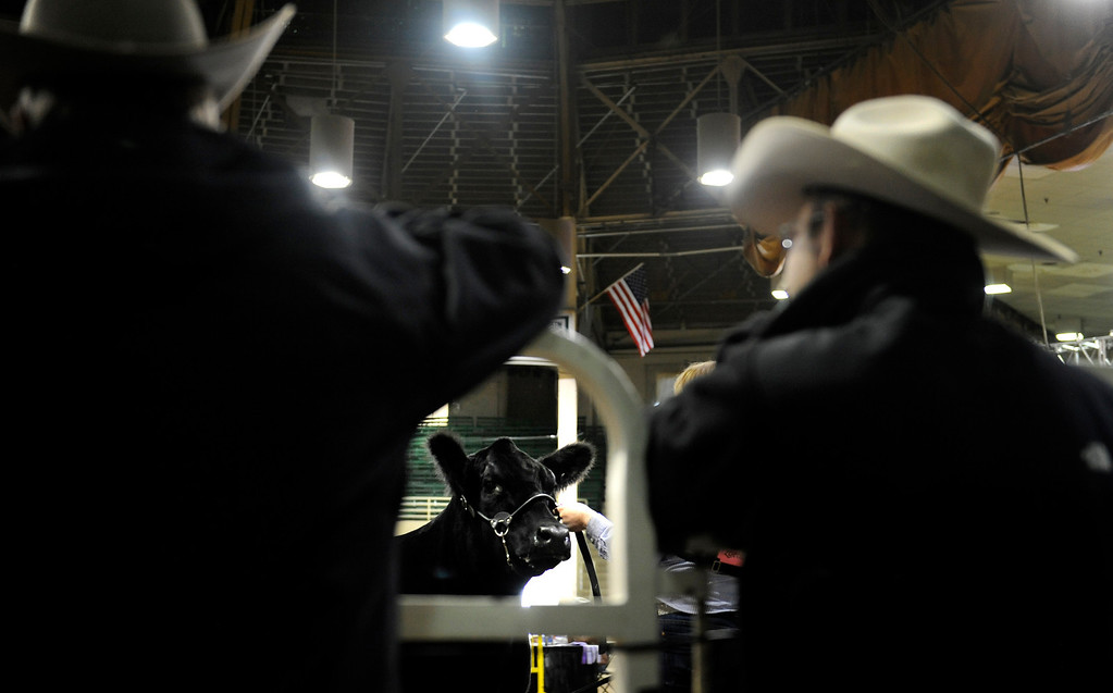 . Breeders gather for the National Western Stock Show on Jan. 19 at the Denver Coliseum to show their bulls and heifers, as spectators and judges watch. Photo by Jamie Cotten, Special to The Denver Post