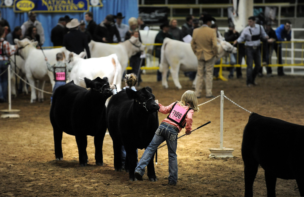 . Junior owners gather for the National Western Stock Show on Jan. 19 at the Denver Coliseum to show their bulls and heifers. Photo by Jamie Cotten, Special to The Denver Post