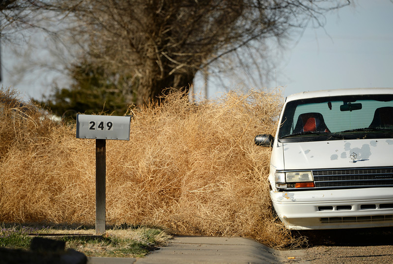 . SPRINGFIELD, CO - MARCH 31: High winds piled up tumbleweeds in Springfield, Monday, March 31, 2014. Years of drought in southeast Colorado is causing Russian Thistle to grow out of control in the area. (Photo by RJ Sangosti/The Denver Post)