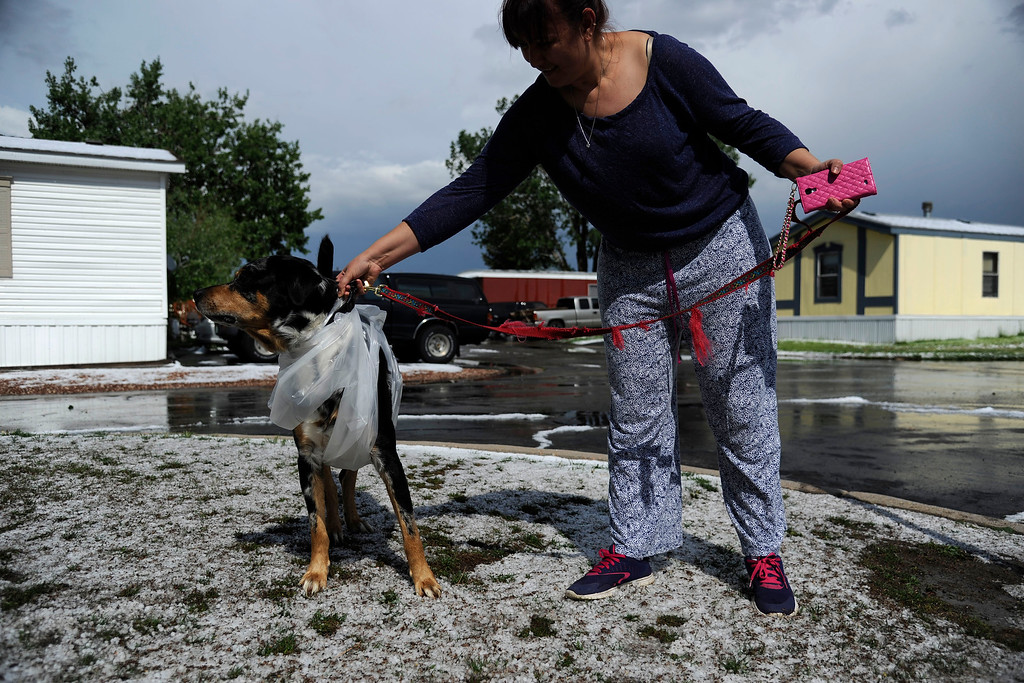 . AURORA, CO - MAY 21: Gres Bajarno walks her dog Trapito, who sports a custom rain slicker, after hail pounded Woodshire Mobile Park. A hail storm hit the Denver metro area on Wednesday, May 21, 2014. (Photo by AAron Ontiveroz/The Denver Post)