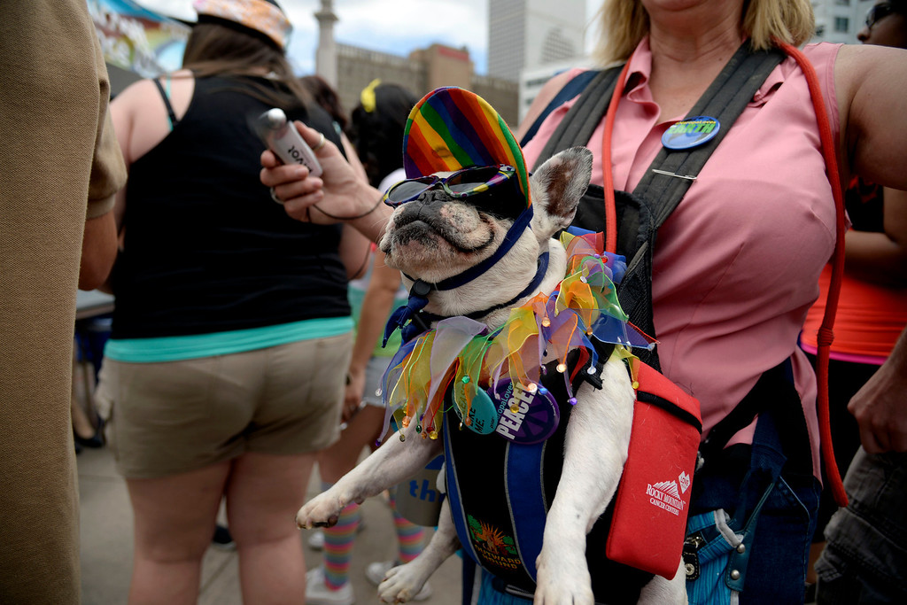 . DENVER, CO - JUNE 22: French bulldog Beignet cools off as owner Marleen Puzak fans him during PrideFest 2014 in downtown Denver. Thousands of people gathered in the city to enjoy a bevy of events including dancing, food and music on Sunday, June 22, 2014. (Photo by AAron Ontiveroz/The Denver Post)