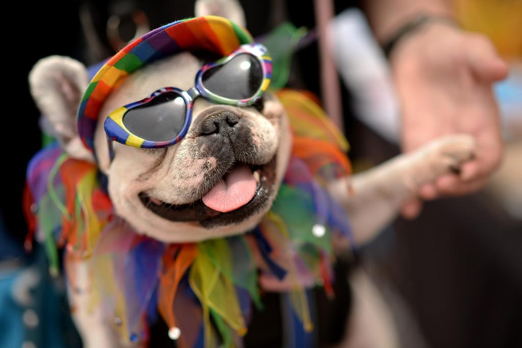 ". DENVER JUNE 21: Marleen Puzak of Denver celebrates the 2014 Denver Pridefest with her French Bulldog \""Beignet\"" at Civic Center Park in Denver, Colorado June 21, 2014. (Photo by Hyoung Chang/The Denver Post)"