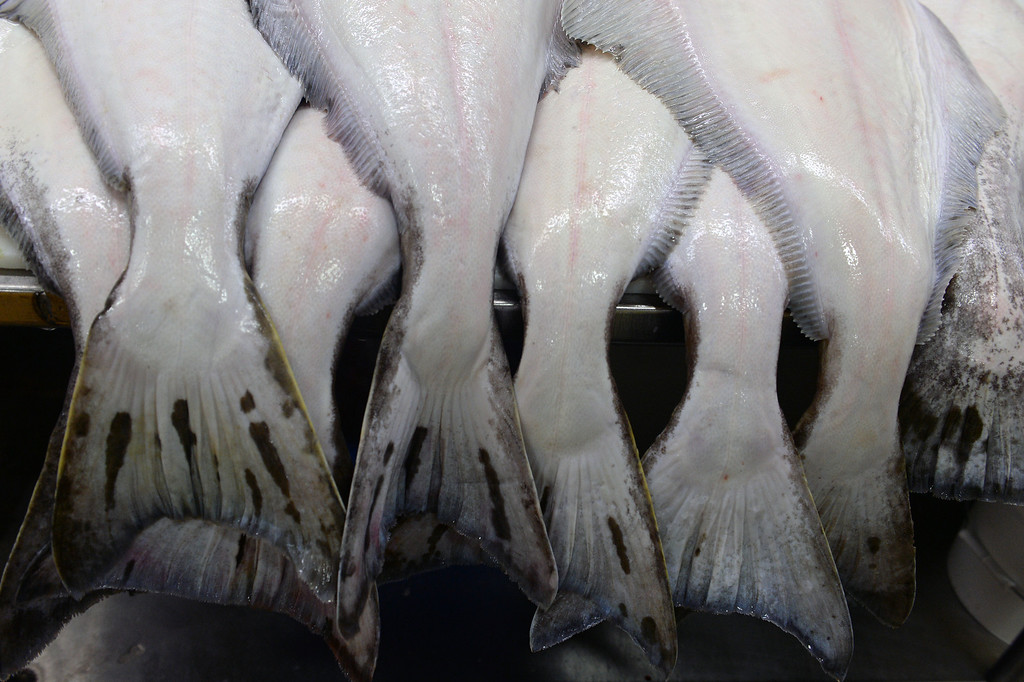 . Tails of large halibut rest on tables ready to be processed at Seattle Fish Company in Denver on April 17, 2014.  The company processed 10 million pounds of fish last year at their facility. (Photo By Helen H. Richardson/ The Denver Post)