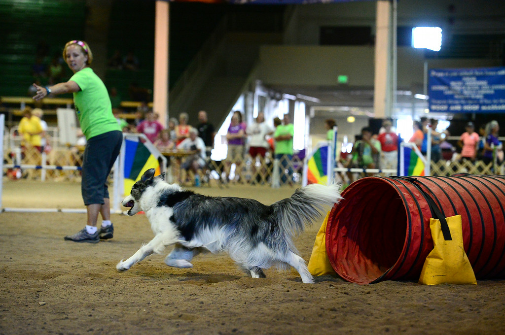". Sage, a Border Collie, makes her way through the agility course with her owner Jen Bailey during the 20"" jumpers with weaves agility dog competition at the Denver County Fair at the National Western Complex in Denver, CO on August 3rd, 2014.  This was the last day of the fair which included dancing, singing, dog agility courses, freak shows, and pie eating contests. (Photo by Helen H. Richardson/The Denver Post)"
