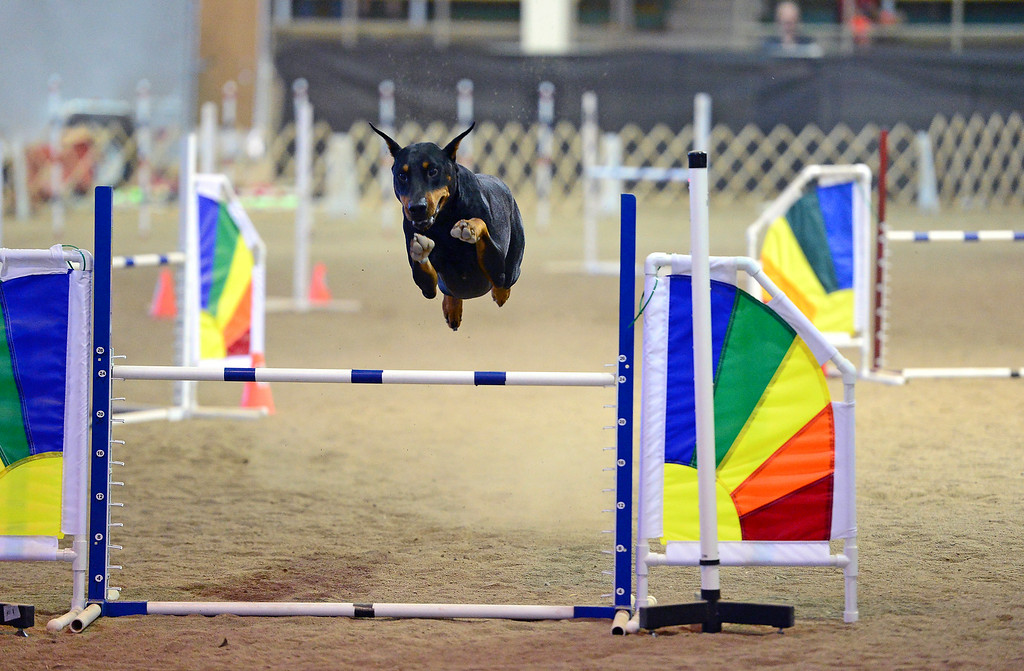 ". Rio, a Doberman Pinscher, makes his way through the agility course with his owner Bettina Kimball, not shown, during the 24"" jumpers with weaves agility dog competition at the Denver County Fair at the National Western Complex in Denver, CO on August 3rd, 2014.  Rio was the only Doberman Pinscher in the competition.  This was the last day of the fair which included dancing, singing, dog agility courses, freak shows, and pie eating contests. (Photo by Helen H. Richardson/The Denver Post)"