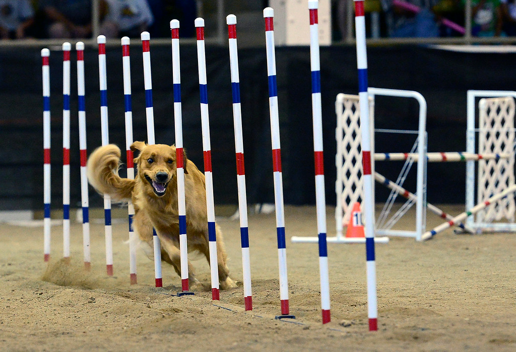 ". Trey, a golden retriever, makes his way through the agility course with his owner Sue Oviatt, not shown, during the 20"" jumpers with weaves agility dog competition at the Denver County Fair at the National Western Complex in Denver, CO on August 3rd, 2014.  This was the last day of the fair which included dancing, singing, dog agility courses, freak shows, and pie eating contests. (Photo by Helen H. Richardson/The Denver Post)"