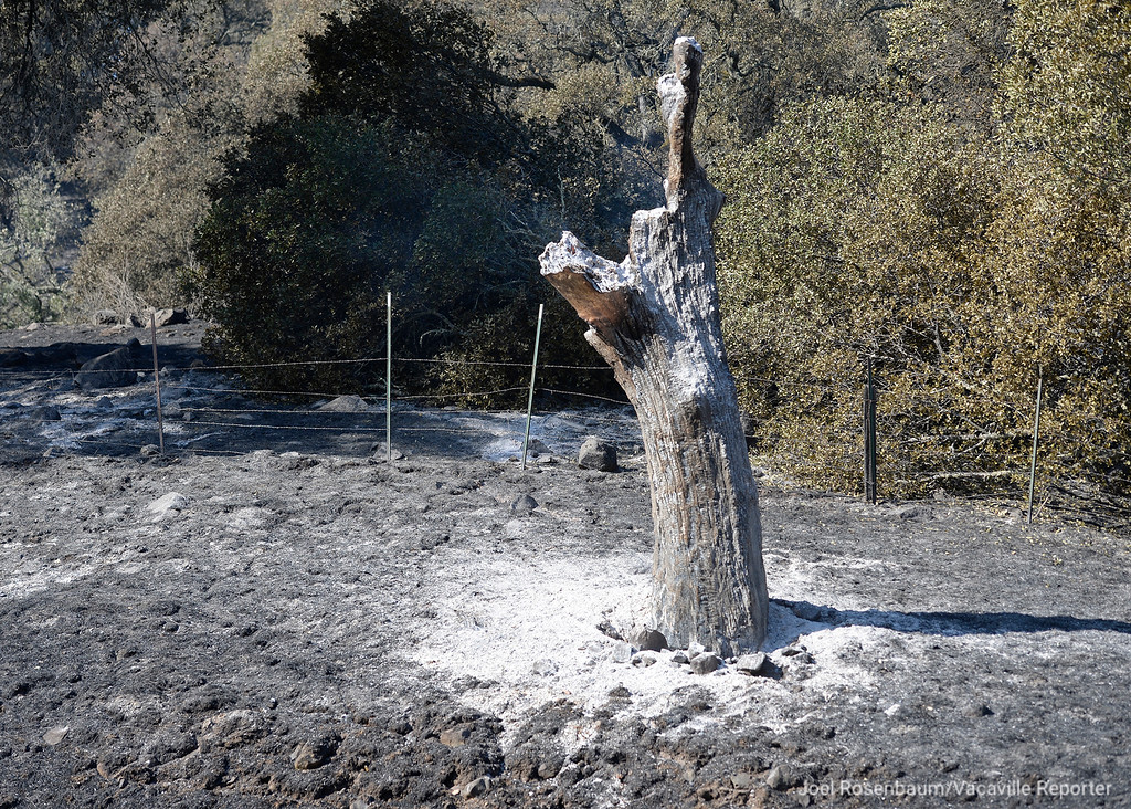 . The remains of a charred tree along Wooden Valley Road after the Atlas Fire rolled through Wednesday morning. Joel Rosenbaum -- The Reporter
