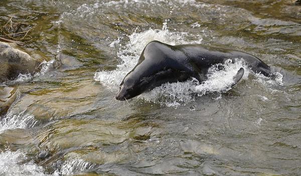 VAC-L-Vaca Sea Lion Goes Home-0316-013