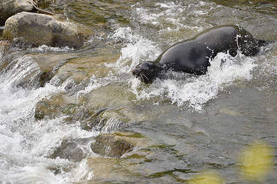 VAC-L-Vaca Sea Lion Goes Home-0316-014