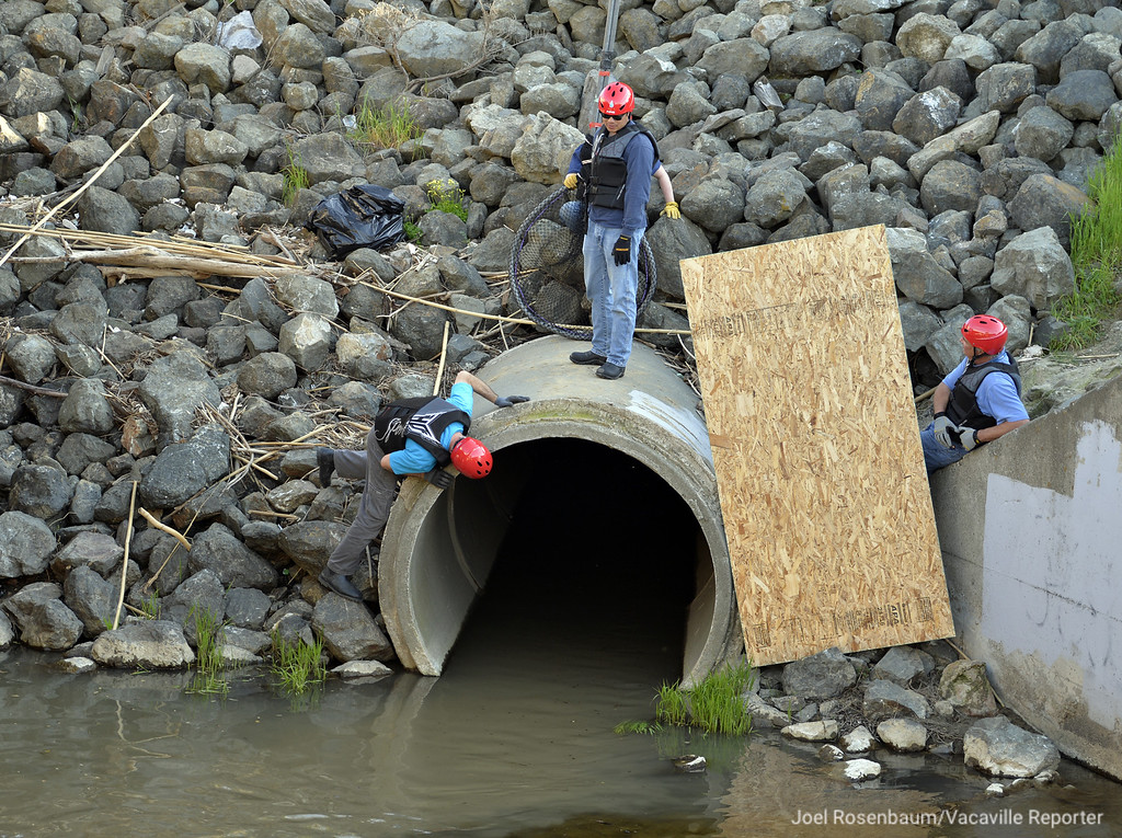 . A rescue and recovery team from The Marine Mammal Center in Sausalito wait to attempt to capture a male sea lion that swam up Ulatis Creek from the delta and was spotted near bridge over Leisure Town Road. After spending several hours swimming in the waters below the bridge before entering the storm drain culvert.