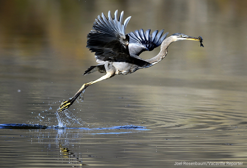 . A juvenile great blue heron takes fight after catching a morning meal Thursday from the waters of Lagoon Valley. With its strong beak, the heron stand as still as a statue as they hunt for prey in everything from fresh water, salt water, marshes and sloughs.