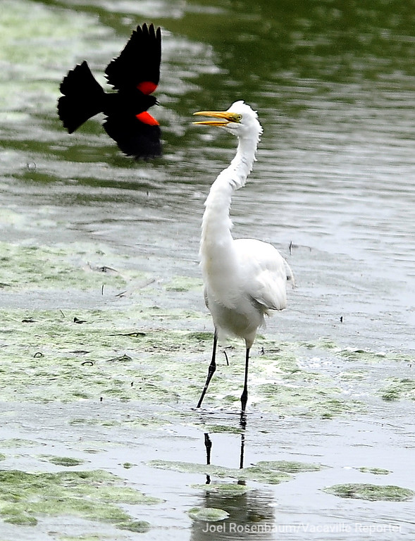 . A red-winged blackbird harasses an snowy egret as it forages for food in a small creek Wednesday in Lagoon Valley Park. The behavior know as mobbing can be used by a smaller species to drive the larger animal away from a food source or young.