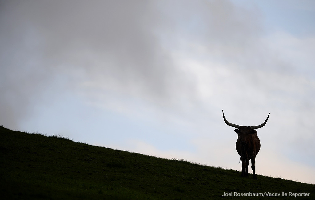 . A lone longhorn steer pauses atop a small hill along Foothill Drive in Vacaville while grazing during a break in the Friday\'s rain showers.