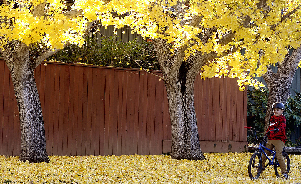 . A young cyclist pedals  across a golden sidewalk courtesy of fallen leaves from group of coral trees along Hemlock Street in Vacaville.