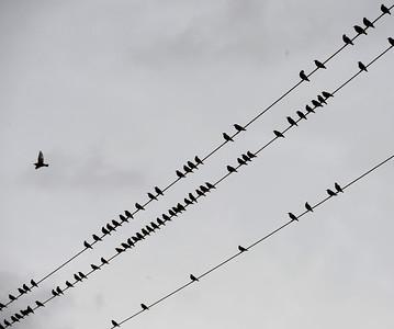 VAC-L-Birds on a Wire-1025-001