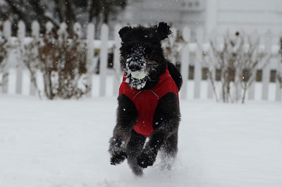 Erica Miller @togianphotog - The Saratogian:     Ludlow resident Jessica Fleming (not shown) plays catch with her laberdoodle Drake, 4 years old, on Wednesday morning, February 5th, 2014, the beginning of the snow storm hitting the North Eastern area. Snow will continue to fall till early evening.