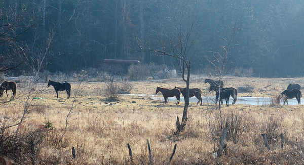 Erica Miller @togianphotog - The Saratogian.     Horses at Ann Arnold's farm on Wilton-Greenfield Road at allegedly are pregnant mares. The property is under Ann Arnold's brothers name, the facilitator of the property after the deed was transferred to him. Allegedly there are ten horses with one ready to foal anyway.    SAR-l-AnnArnold4