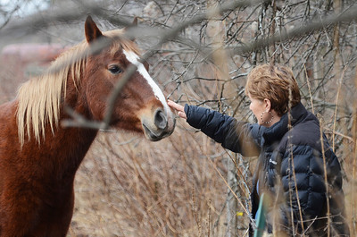 Erica Miller @togianphotog - The Saratogian.     Horses at Ann Arnold's farm on Wilton-Greenfield Road at allegedly are pregnant mares. The property is under Ann Arnold's brothers name, the facilitator of the property after the deed was transferred to him. Allegedly there are ten horses with one ready to foal anyway. Jo Brennan pets one of the dozen horses on the property line.     SAR-l-AnnArnold15