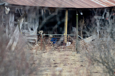 Erica Miller @togianphotog - The Saratogian.     Horses at Ann Arnold's farm on Wilton-Greenfield Road at allegedly are pregnant mares. The property is under Ann Arnold's brothers name, the facilitator of the property after the deed was transferred to him. Allegedly there are ten horses with one ready to foal anyway.    SAR-l-AnnArnold14