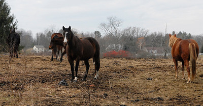Erica Miller @togianphotog - The Saratogian.     Horses at Ann Arnold's farm on Wilton-Greenfield Road at allegedly are pregnant mares. The property is under Ann Arnold's brothers name, the facilitator of the property after the deed was transferred to him. Allegedly there are ten horses with one ready to foal anyway.    SAR-l-AnnArnold7