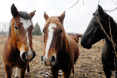 Erica Miller @togianphotog - The Saratogian.     Horses at Ann Arnold's farm on Wilton-Greenfield Road at allegedly are pregnant mares. The property is under Ann Arnold's brothers name, the facilitator of the property after the deed was transferred to him. Allegedly there are ten horses with one ready to foal anyway.    SAR-l-AnnArnold5